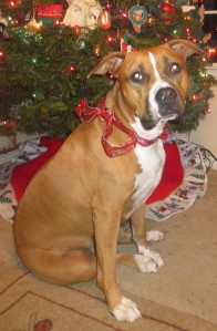 Rosee at Christmas. She's just so vicious with a bow around her neck.