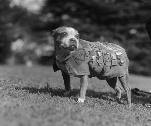Stubby served with the 102nd Infantry, 26th Division in WWI.  Picture taken from Wikipedia: http://en.wikipedia.org/wiki/Sergeant_Stubby